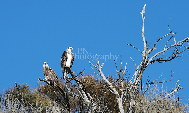 Day 24 Osprey mother & Father watching over there young on Kangaroo Island South Australia on what i would call the perfect day on the island.