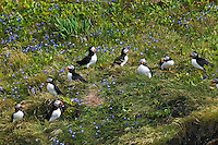Gregarious non-breeding Atlantic Puffins (Fratercula arctica) 'hang out' during nesting season on grassy slopes and rock ledges near the many scattered burrows of the colony's breeding pairs, here along the coast of eastern Newfoundland, summer, Newfoundland and Labrador, Canada.