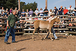 NEW FOREST PONY THEIR ANNUAL AUCTION HAMPSHIRE