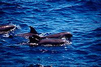 melon-headed whales, Peponocephala electra, Gulf of Mexico, Atlantic Ocean