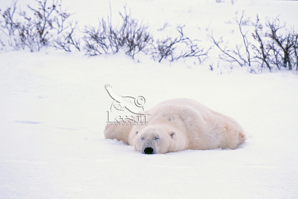 Large male Polar Bear sleeps in snow along Hudson Bay, Canada.  Fall.