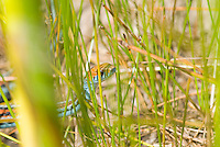 San Francisco garter snake, Thamnophis sirtalis tetrataenia. Federal- and State-listed endangered species. San Mateo County, California. Considered one of the most beautiful snakes in North America, San Francisco garter snakes had the misfortune of evolving in what would become one of the most densely-populated areas of the country. They now live only in a few isolated populations on the San Francisco peninsula.