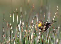 A female yellow-headed blackbird perches among the reeds.