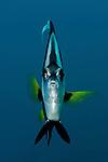 Longfin Bannerfish (Heniochus acuminatus).