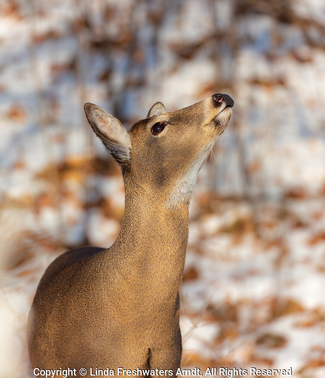White-tailed doe looking up at something in a tree.