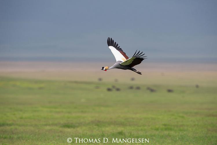 A Crown Crane in flight over a grassy field in Ngorongoro, Tanzania.
