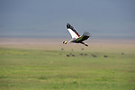 A Crown Crane in flight over a grassy field in Ngorongoro, Tanzania.