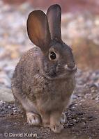 1115-0805  Desert Cottontail Rabbit (Audubons Cottontail), Sylvilagus audubonii © David Kuhn/Dwight Kuhn Photography