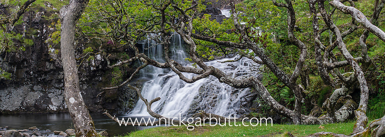 Ancient Oaks (Quercus sp.) growing by waterfall and pool. Coast of Isle of Mull, Scotland.