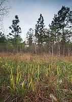 Pitcher plants,  Big Thicket National Preserve, East Texas, USA