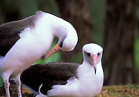 Laysan Albatross or Moli or Diomedea immutabilis at Kilauea Point National Wildlife Refuge