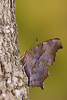 Question Mark, Polygonia interrogationis, adult resting on tree bark, Uvalde County, Hill Country, Texas, USA, April 2006