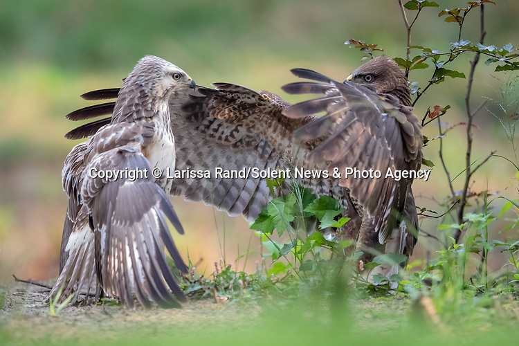 """HUG? A buzzard looks as though it is offering a hug, before lunging in for an attack on a rival.  Larissa Rand, 46, managed to capture these two buzzards in an intense stand-off in a local forest in Brabant, Netherlands. <br /> <br /> Larissa who is the Head of Education for the local school authority in Tilburg said """"These young buzzards have to find their own territory, but start off by remaining close to the place where they were born. Which causes them to accidentally running into each other sometimes.  Most of the time one of them will just fly away, but in some situations they will search for confrontation to show who is the strongest.""""Even though the encounter seems fierce, Larissa sees the comical side of it saying that  """"It is kind of funny to see how they spread their wings as it looks like they want to give each other a hug. Even though the brown buzzard seems to be the one that is trying to calm the hostility, the ensuing fight is won by the blonde buzzard while the brown one flies away.""""<br /> <br /> Please byline: Larissa Rand/Solent News<br /> <br /> © Larissa Rand/Solent News & Photo Agency<br /> UK +44 (0) 2380 458800"""