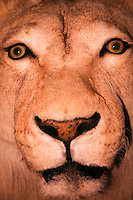 A lion, post taxedermy, displayed at the Wild Animal Sanctuary north of Denver, Colorado in 2006.