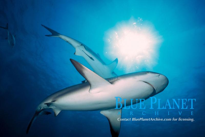 Caribbean reef sharks, Carcharhinus perezii, Walker's Cay, Bahamas, Caribbean Sea, Atlantic Ocean