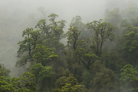 Native rainforest in rain, Doubtful Sound, Fiordland National Park, UNESCO World Heritage Area, Southland, New Zealand, NZ