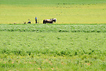 Spring fieldscape with Amishman cutting hay.