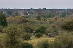 African Elephant (Loxodonta africana) breeding herd in savanna, Kafue National Park, Zambia