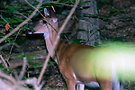 White-tailed deer doe facing left looking at camera.