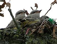 Western kingbird fledglings. Three birds still in nest and one sitting on limb nearby.