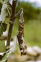 Pappelblattroller, Pappel-Blattroller, Pappelblatt-Roller, Byctiscus populi, Bytiscus populi, leaf-rolling weevil, le cigarier du peuplier, Blattroller, Attelabidae