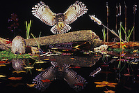 Barred Owl (Strix varia), adult landing on log in pond, Raleigh, Wake County, North Carolina, USA