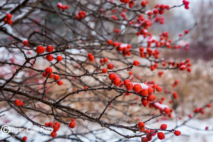 Winterberries at the Arnold Arboretum in the Jamaica Plain neighborhood, Boston, Massachusetts, USA
