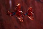 Red-and-green macaws, Buraco das Araras, Brazil