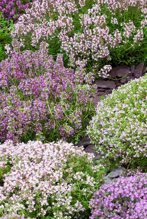 Thymes Thymus at Jekka's Herb Farm, variety of types in bloom, mounding plants