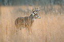 00274-305.09 White-tailed Deer Buck (DIGITAL) with large antlers and huge body is in meadow during fall.  Hunt, Hunting.  H4R1