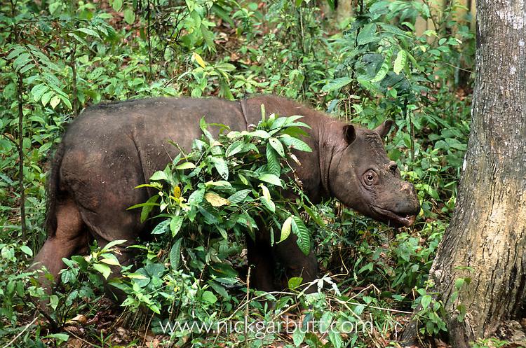 Sumatran or Asian Two-horned Rhinoceros (Dicerorhinus sumatrensis) from isolated rainforest areas in Borneo (Tabin & Danum Valley) and Sumatra (Way Kambas & Gunung Leuser). Photographed in captivity at Sepilok Rehabilitation Centre, Sabah, Borneo.