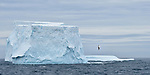 Wandering albatross (or snowy albatross, white-winged albatross or goonie) (Diomedea exulans) in flight next to a huge iceberg in the South Atlantic Ocean near South Georgia (stitched image).