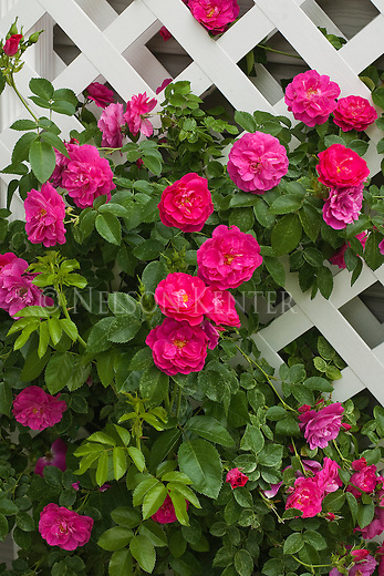 A climbing rose on white trellis
