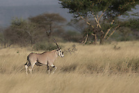 Beisa Oryx at Awash National Park in Ethiopia