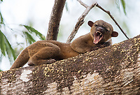I love finding elusive mammals in the rainforest. We've had some good luck photographing kinkajous in recent years.