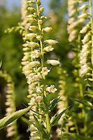 Gelber Fingerhut, Digitalis lutea, Small Yellow Foxglove, Straw Foxglove