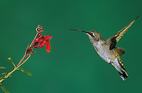 Broad-billed Hummingbird, Cynanthus latirostris, young male feeding on Sage (Salvia sp.), Miller Canyon, Arizona, USA, August 2004