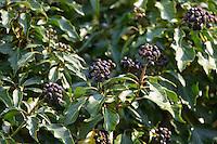 Efeu, Frucht, Früchte, Hedera helix, Common Ivy, English Ivy, Lierre grimpant