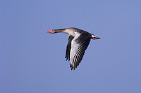 Greylag Goose, Anser anser, adult in flight,National Park Lake Neusiedl, Burgenland, Austria, April 2007