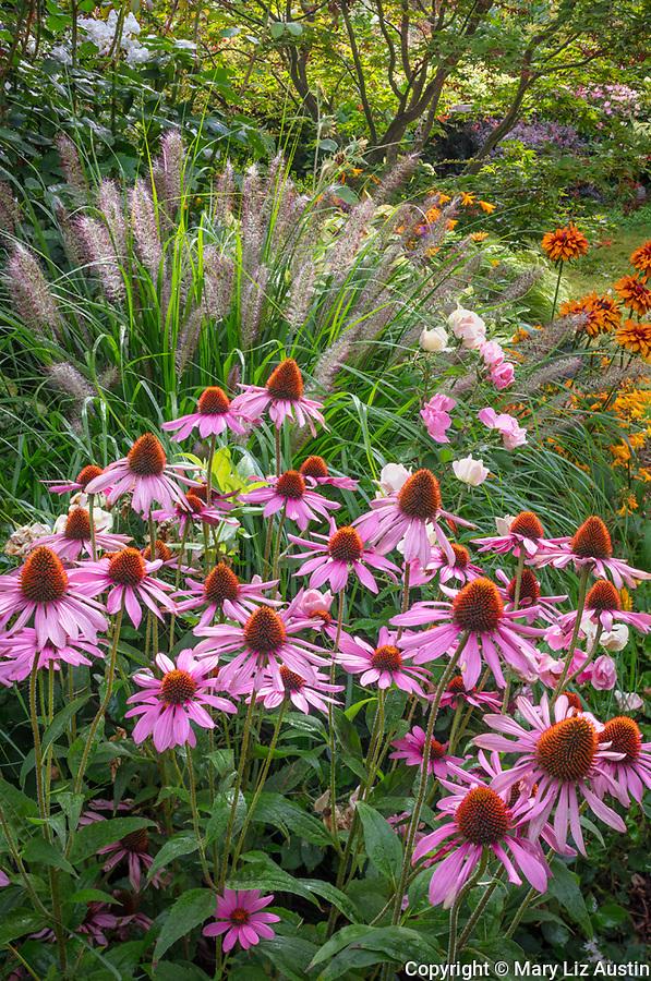 Vashon-Maury Island, WA: Summer perennial garden with echinacea 'Magnus' and pennisetum 'Red Head'