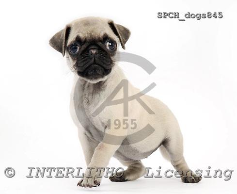 Xavier, ANIMALS, dogs, photos, SPCHDOGS845,#A# Hunde, perros