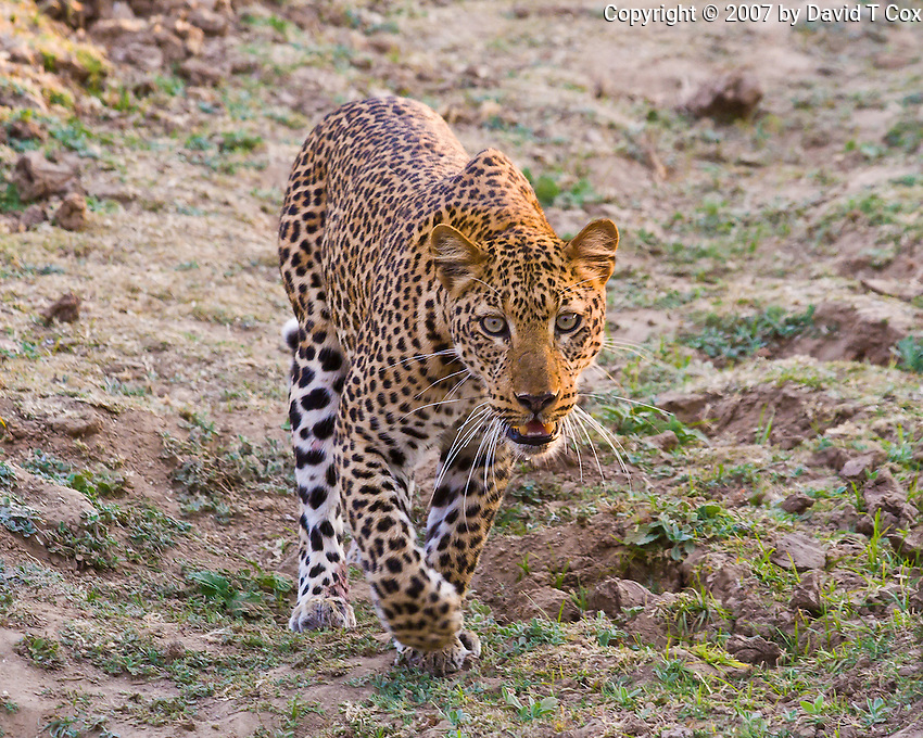 African Leopard, South Luangwa NP, Zambia