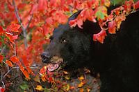 Black Bear (Ursus americanus), Fall, Great Lakes region.