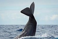 sperm whale, Physeter macrocephalus, lobtailing, tail-slapping, Azores, Portugal, Atlantic Ocean