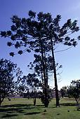 Curitiba, Parana, Brazil. Araucaria 'Parana Pine' tree.