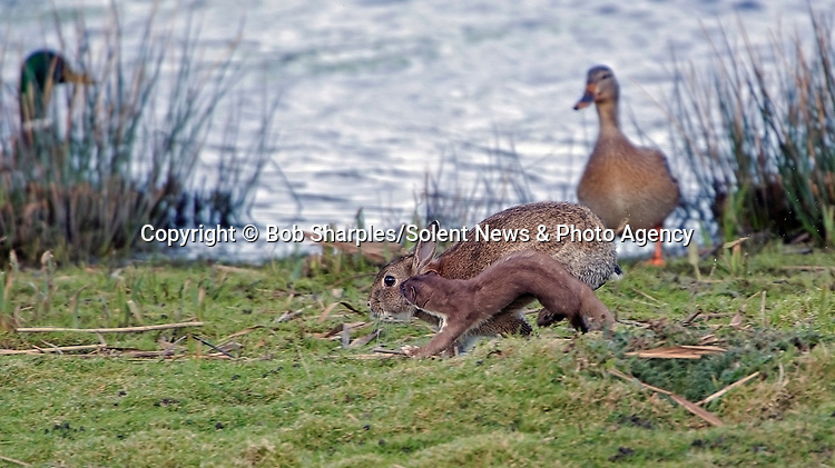Pictured:  The stoat chasing the rabbit<br /> <br /> Stoat-ally mad - an acrobatic stoat somersaults through the air.  The excitable animal chased birds on the windless morning and later caught a rabbit.<br /> <br /> After making its catch, it dragged its prize to a nearby rabbit hole, away from other predators such as foxes and buzzards.  The pictures were taken at Marazion Marsh, Cornwall, by keen amateur photographer Bob Sharples.  SEE OUR COPY FOR DETAILS.<br /> <br /> Please byline: Bob Sharples/Solent News<br /> <br /> © Bob Sharples/Solent News & Photo Agency<br /> UK +44 (0) 2380 458800
