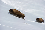 A female American Bison (Bison bison) with calf pushing through deep snow in the Hayden Valley. Yellowstone National Park, Wyoming, USA.