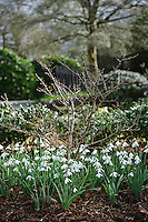 Galanthus Nivalis Angelique