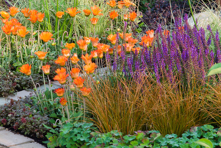 Carex ornamental grass, Arctotis orange flowers, Salvia purple flowers, Rubus, for an orange and purple theme color garden border combination