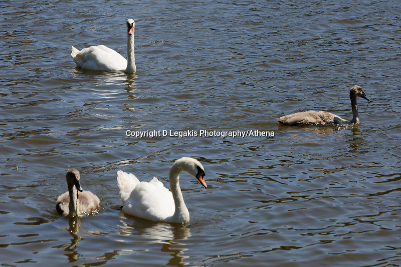 """Pictured: The killer swan, named by locals """"Mr Nasty"""" (TOP) with his family in the pond by Pembroke Castle, west Wales, UK. Sunday 08 July 2018<br /> Re: A vicious killer swan is prowling around Pembroke, determined to see off any threat to his territory by ruthlessly drowning his victims.<br /> So far, he has killed 10 other swans, though many more have been saved from his attacks.<br /> Dubbed by locals """"Mr Nasty""""  lives on the Castle Pond by Pembroke Castle. <br /> Bird sanctuary worker Maria Evans says she has watched him at work, drowning other swans, breaking their feet or pushing them over a sluice.<br /> In 2010, another killer swan dubbed """"Hannibal"""" had his wings clipped after attacking other swans in the same pond."""